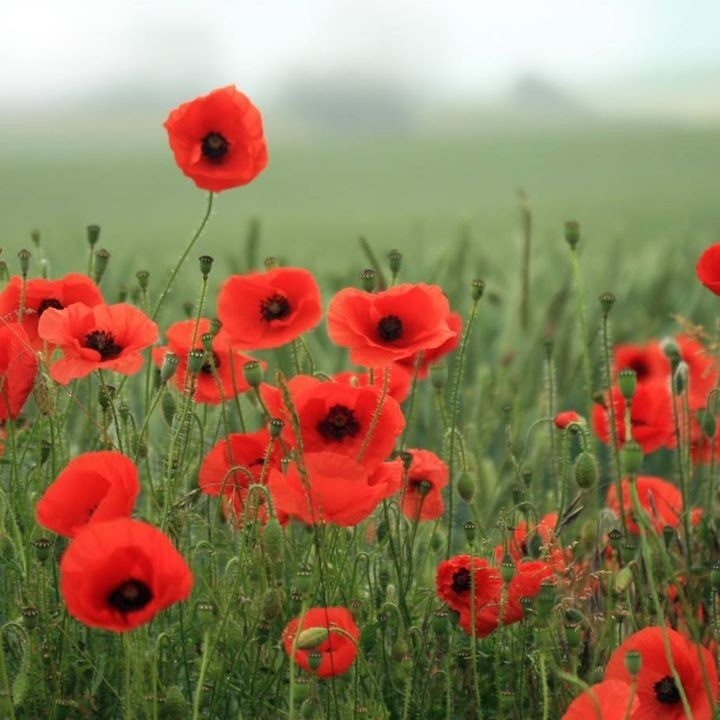 """poppies poem jane weir analysis In 'poppies', weir is comparing the tranquillity of nature with the carnage of war the poem shows how the soldiers sacrificed their life to """"ransom"""" the hills of france thus showing how france's freedom was paid by the blood of these young men."""