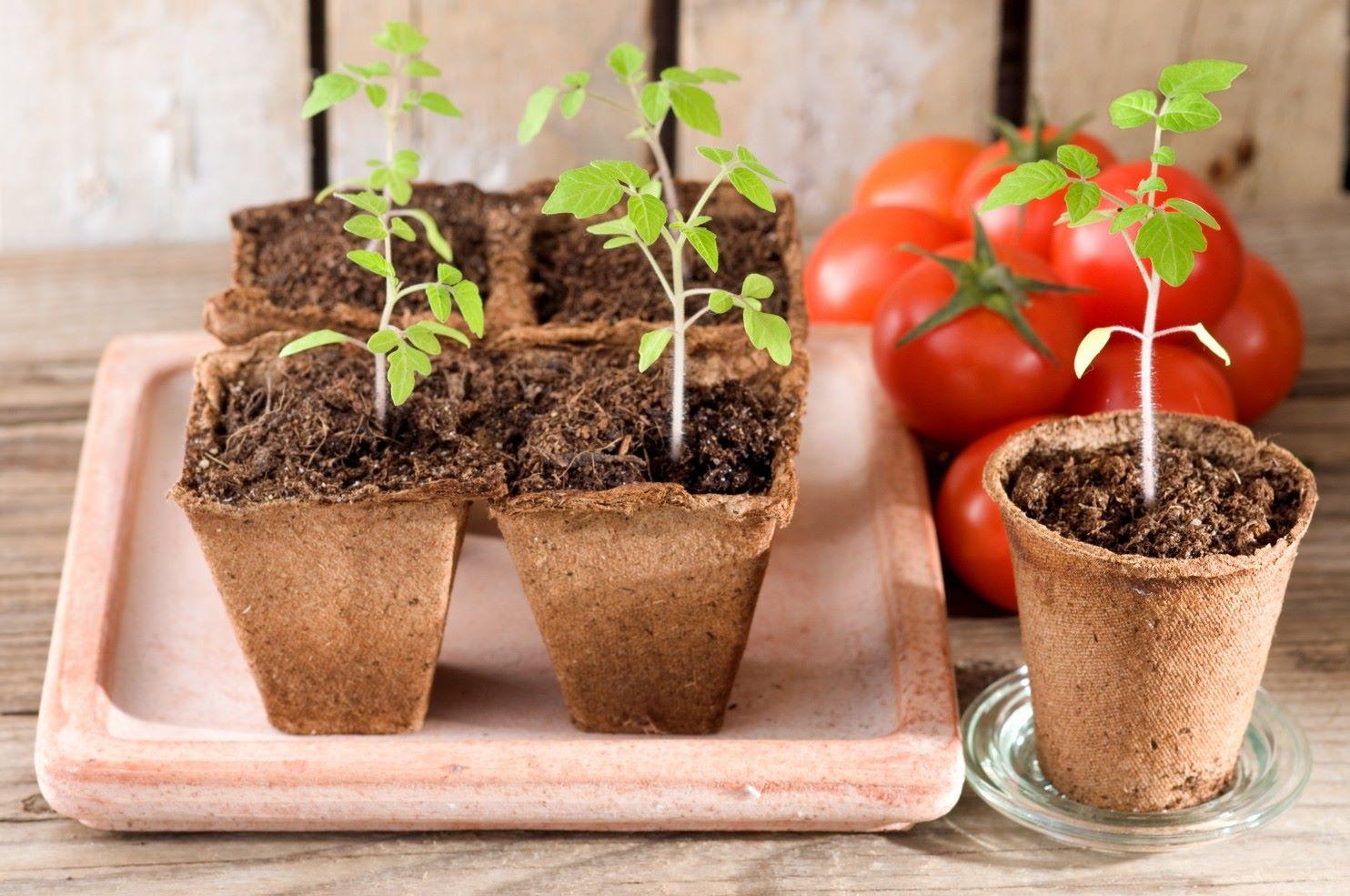 8 важных овощных растений, выращиваемых рассадой 68