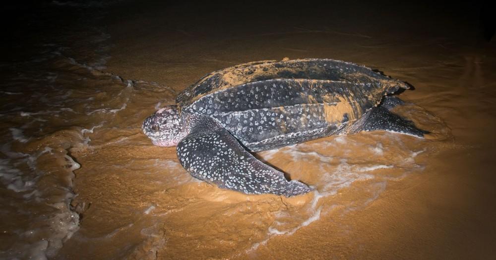 leatherback turtle analysis Home large pelagics research center research leatherback turtles leatherback turtles leatherback turtles (dermochelys coriacea) background leatherback.