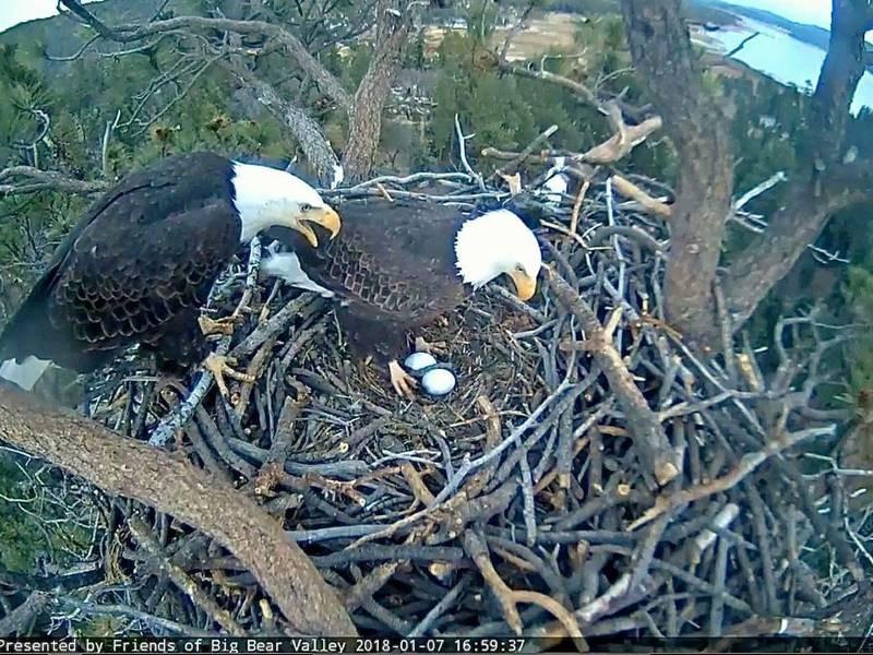 Eagle Egg Hatching Big Bear Bald Eagle Eg...