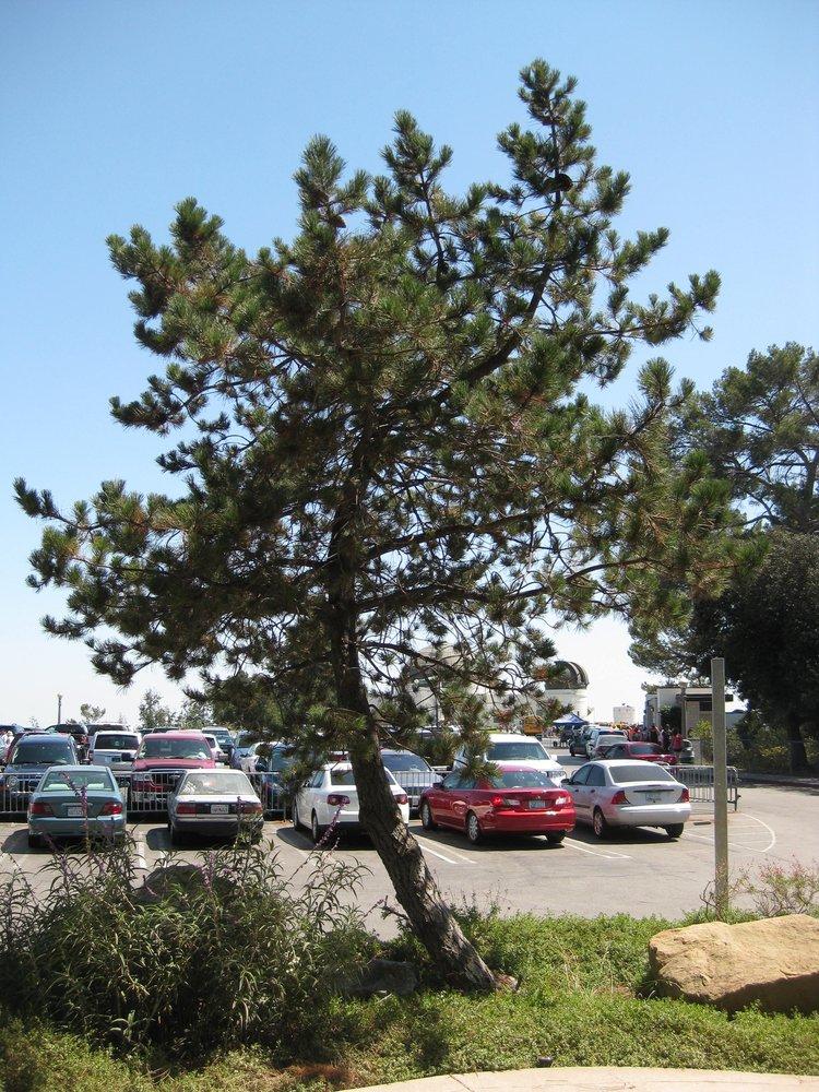 The George Harrison Tree