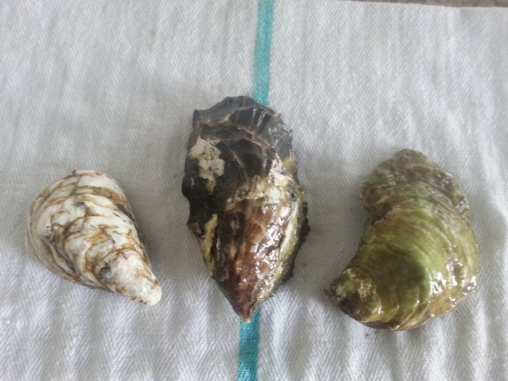 Island Oysters